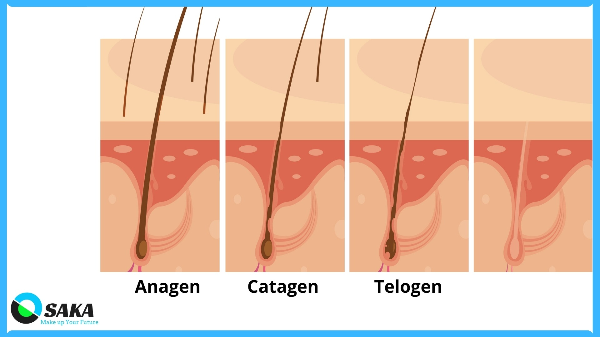 tiến trình phát triển lông opt shr