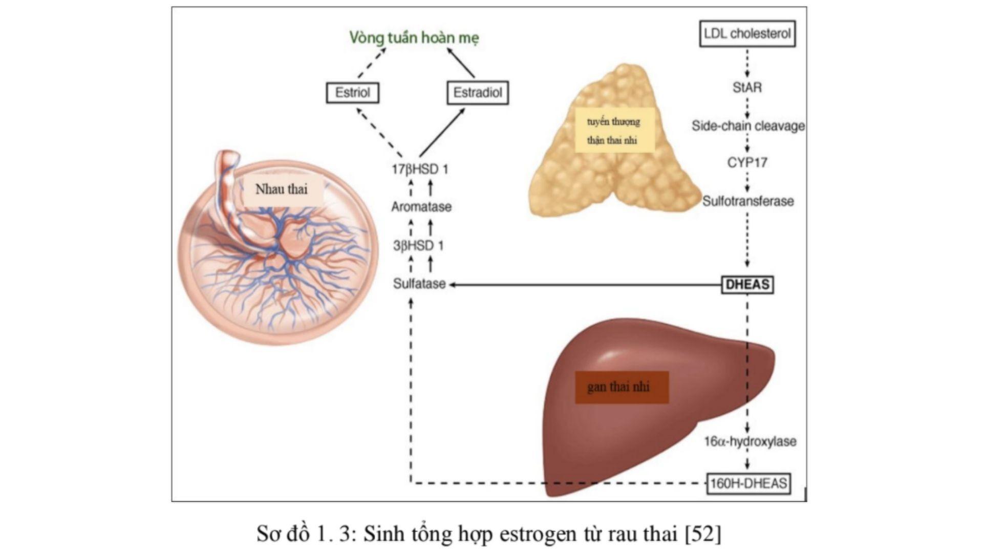 Tăng tình trạng rám má do tăng Estrogen